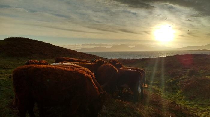 feeding-cows